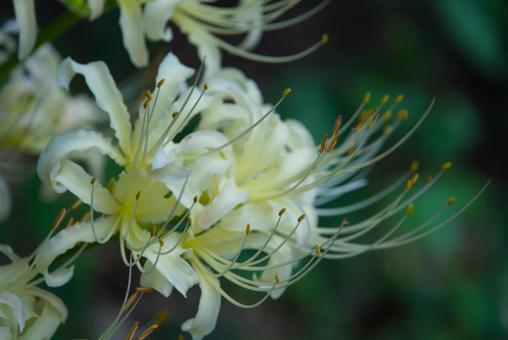 흰 피안 꽃 3