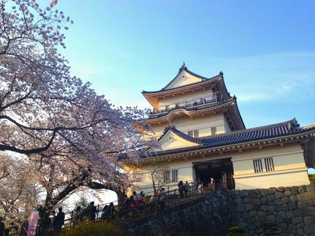 Odawara Castle and Cherry Blossoms