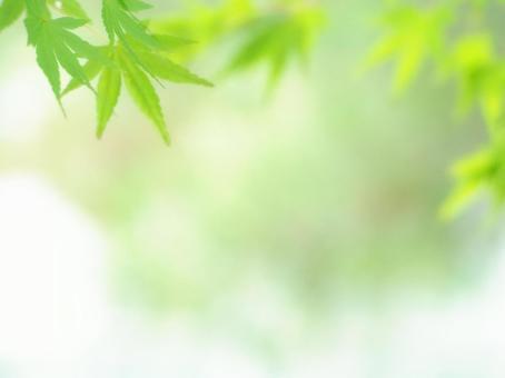 부드러운 푸른 단풍 나무