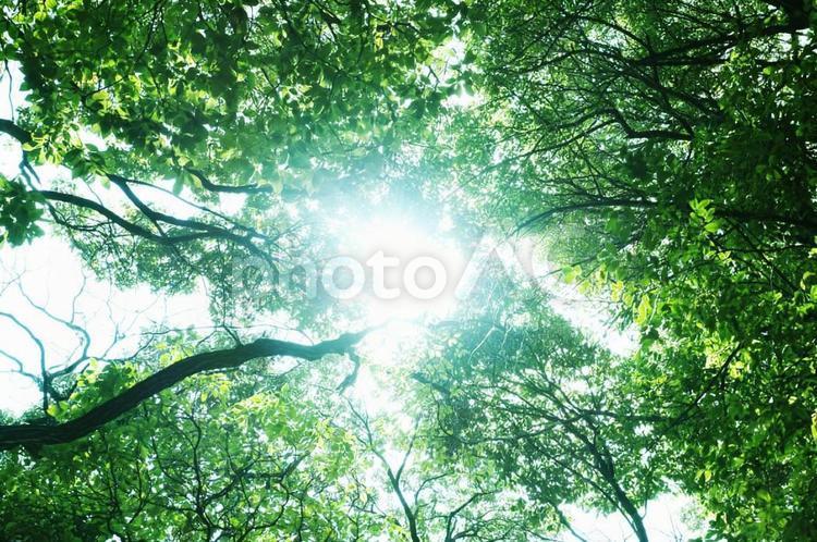 新緑を見上げるの写真