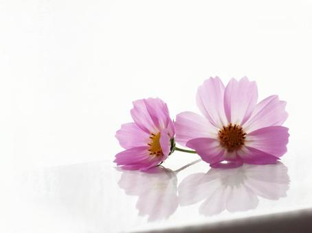 Cosmos flower up _ white background