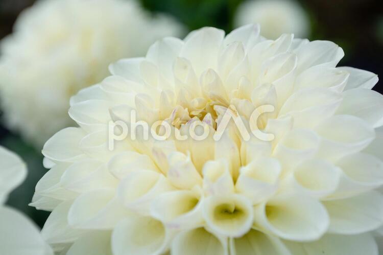 白いダリアの写真