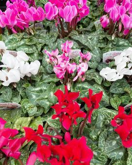 Garden cyclamen / flower material