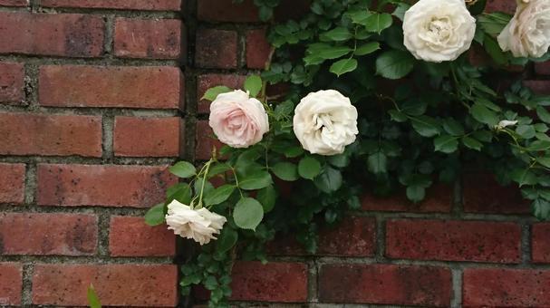 벽돌과 흰 장미
