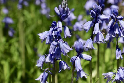 블루 벨 꽃 2
