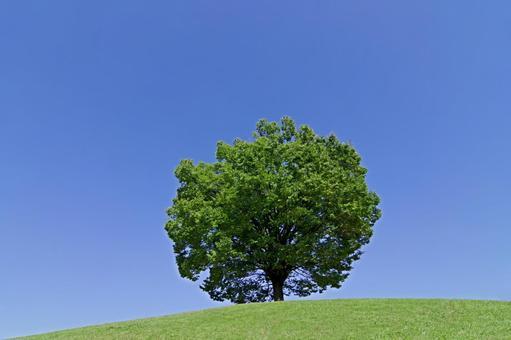 Blue sky and zelkova tree