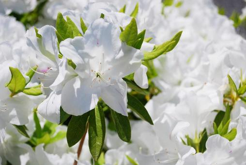 White azalea up