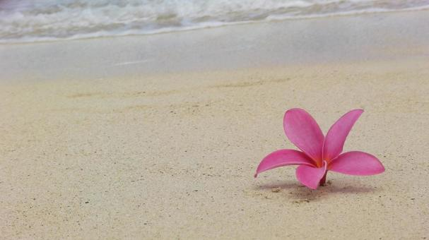 모래 백사장 히비스커스 꽃 핑크 물가 파도 하와이 해변