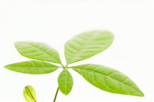 Pakira leaves