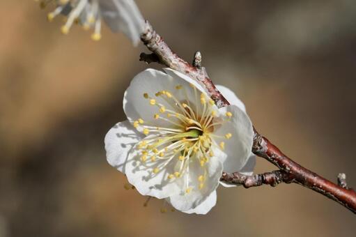 Plum blossoms 09