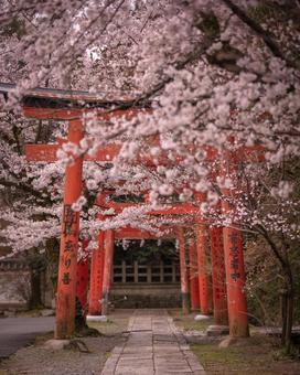 京都府竹中稻荷神社櫻花