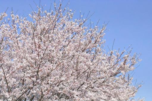 벚꽃이 피다