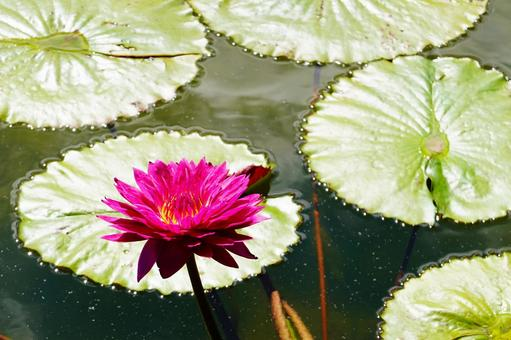 Kyoto water lily flower