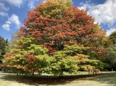 A big tree that has begun to turn red
