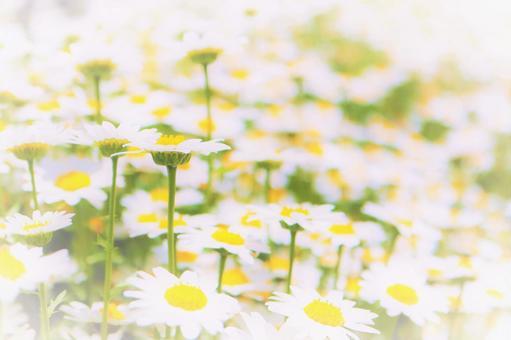 마가렛의 귀여운 하얀 꽃이 일면에 피는 배경 텍스처 벽지 꽃