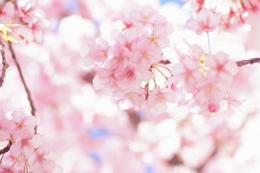 빨리 피는 벚꽃 -342