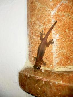 세이셸 도마뱀 어린이