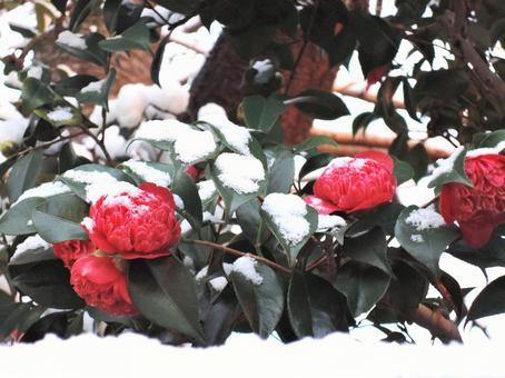 Snow and Bokubun (Camellia)