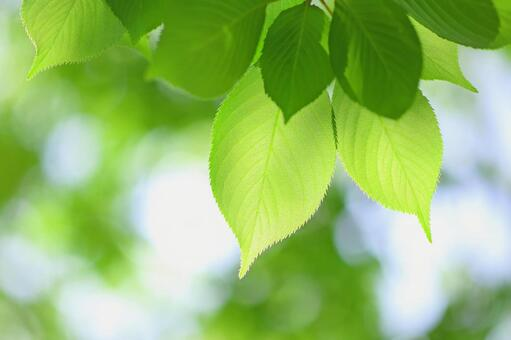 Fresh green young leaves Sakura leaves