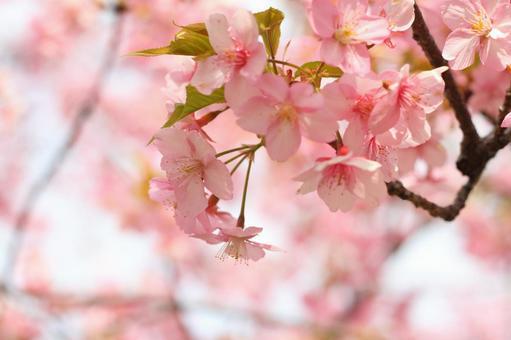 明亮的粉红色的樱花4