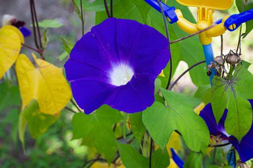 Beautifully blooming Asagao 2