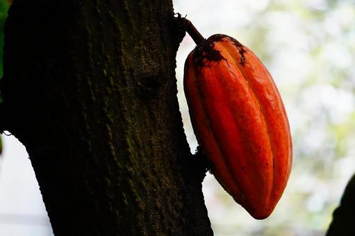 Cacao tree and orange fruit
