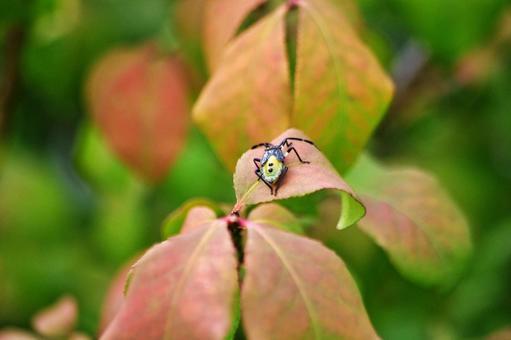 Autumn leaves and stink bug 4 Larva of stink bug