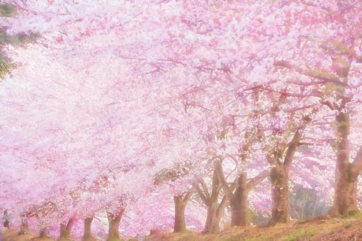 Row of cherry blossom trees 2
