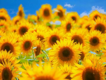 日本夏季向日葵風景02