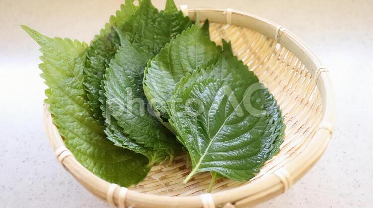 ザルに緑の葉はエゴマの葉の写真