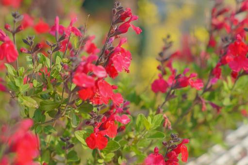 Red cherry sage flower