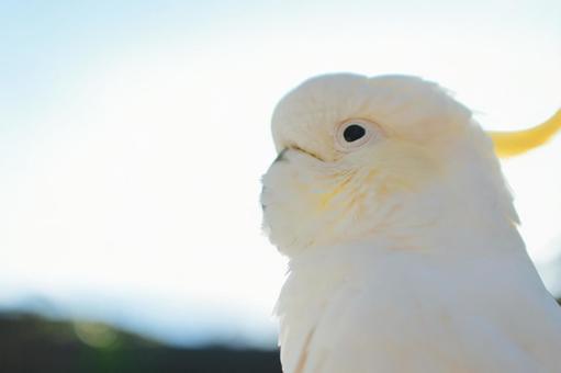野生鳥類在澳大利亞基巴坦英文名Cockatoo背光是日出2