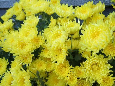 Flowering of edible chrysanthemum