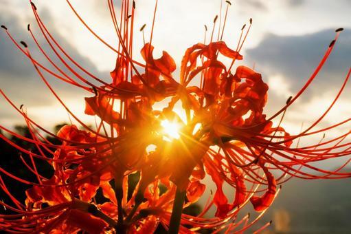 피안 꽃과 광망