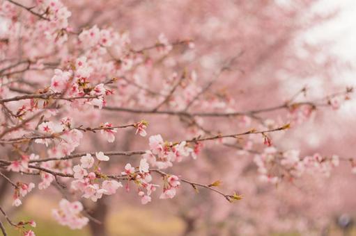 꽃 분홍색의 벚꽃