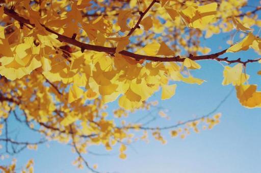 Autumn landscape ginkgo tree