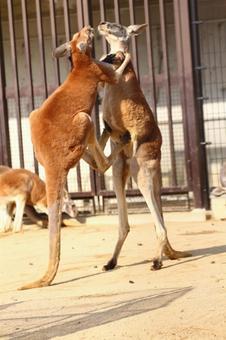 Kangaroo kick