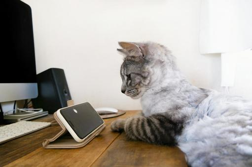 Sabatra cat looking at a smartphone all the time