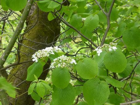 カメノキ 白い花