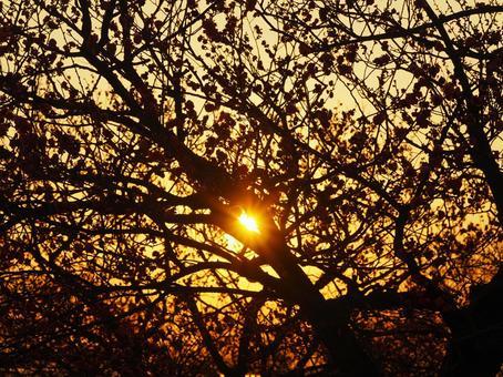 Plum tree and sunset