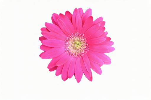 거베라 흰색 배경 핑크 1