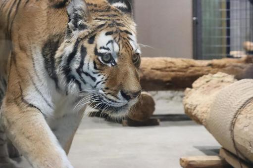 Maruyama Zoo Amur Tiger