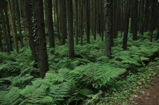 蕨類植物的群落