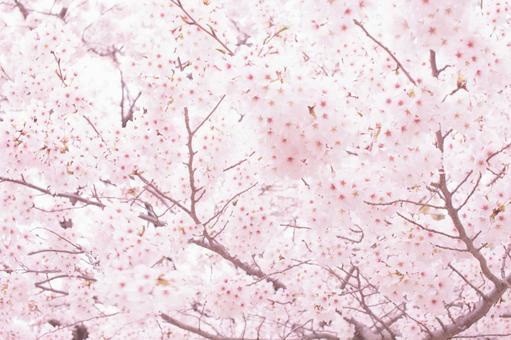 벚꽃 업 17