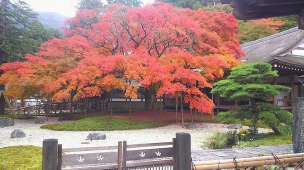 Stunning autumn leaves of a 400-year-old maple tree in the garden of Raizan Senryoji Temple