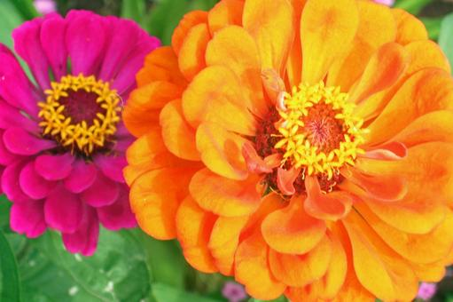 Hymenoptera (orange / red) # 15