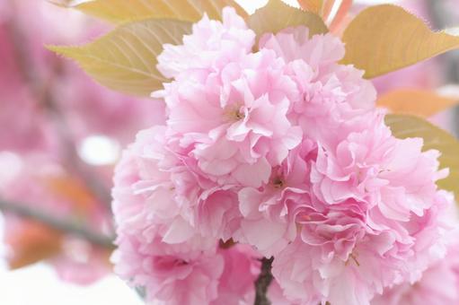겹 벗나무 꽃 클로즈업