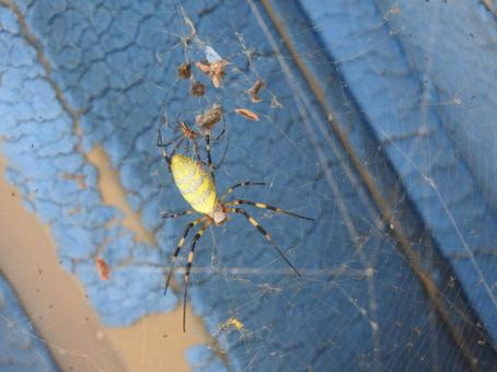 Joro spider discovery!
