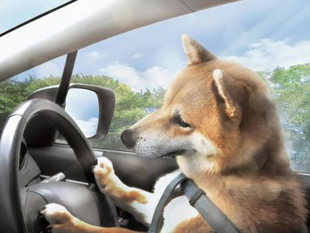 Drive shiba inu