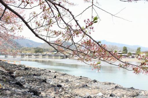 Cherry blossoms and rivers